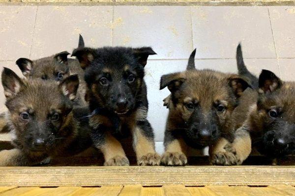 Шесть щенков бельгийской овчарки и три щенка немецкой овчарки поступили на службу в УФСИН России по г. Санкт-Петербургу и Ленинградской области