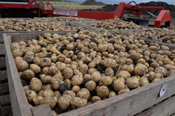 В учреждениях УИС Оренбургской области приступили к уборке корнеплодов